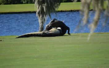 Επική μάχη ανάμεσα σε αλιγάτορες σε γήπεδο γκολφ