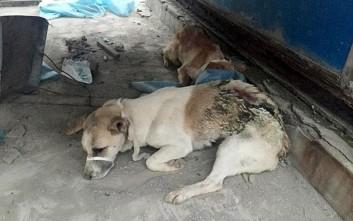 Ιατρική σχολή στην Κίνα εγκατέλειψε σκυλιά - πειραματόζωα στην ταράτσα να πεθάνουν