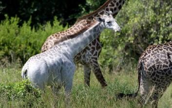 Omo, η σπάνια λευκή καμηλοπάρδαλη της Τανζανίας