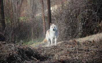 Λύκος επιτέθηκε σε νεαρό βοσκό στον Παρνασσό