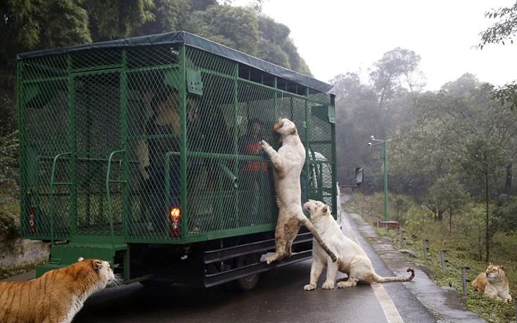 Εκεί που τα ζώα κυκλοφορούν ελεύθερα και οι επισκέπτες μπαίνουν σε κλουβιά