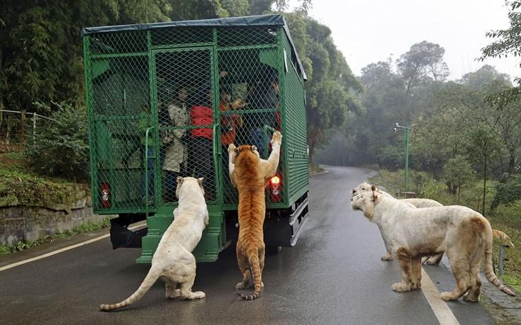 Αποτέλεσμα εικόνας για Εκεί που τα ζώα κυκλοφορούν ελεύθερα και οι επισκέπτες μπαίνουν σε κλουβιά (φωτό, βίντεο)
