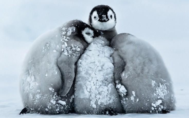 Έτσι επιβιώνουν οι πιγκουίνοι στην παγωνιά της Ανταρκτικής