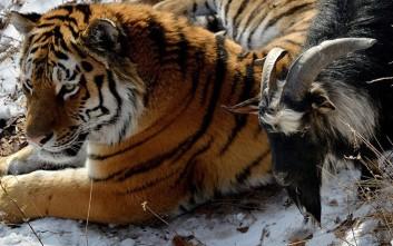 Πώς ο τίγρης τα «έσπασε» με τον τράγο