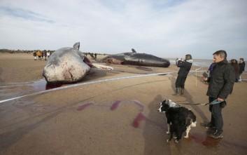 Νεκρές φάλαινες ξεβράστηκαν στις ακτές της Βρετανίας