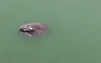 Θρήνος στο Βιετνάμ για τον θάνατο ιερής χελώνας