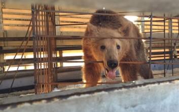 Καταφύγιο στον «Αρκτούρο» για τρία ακόμη αρκουδάκια