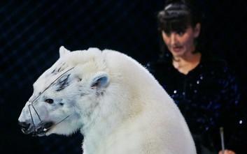 Βασανιστήρια κι εξευτελισμός απειλούμενων πολικών αρκούδων σε ρωσικό τσίρκο