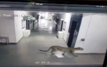 Λεοπάρδαλη εισβάλλει σε σχολείο στην Ινδία