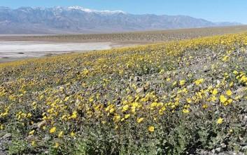 Άνθισε η Κοιλάδα του Θανάτου στην Καλιφόρνια!