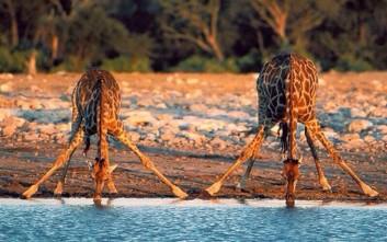 Πώς πίνουν νερό οι καμηλοπαρδάλεις με τόσο μακρύ λαιμό;