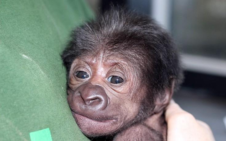 gorillaki1