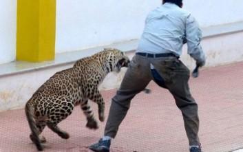 Λεοπάρδαλη εισέβαλε σε σχολείο της Ινδίας