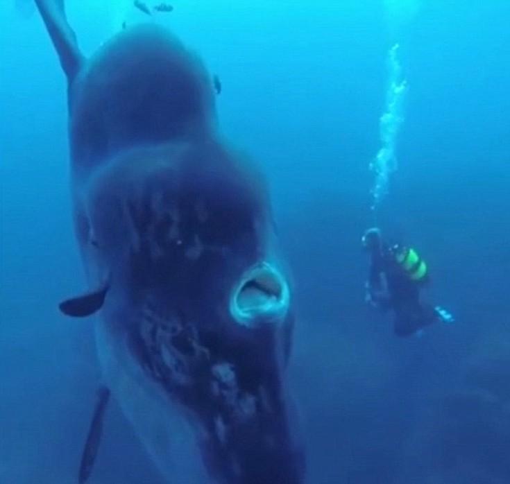 ψάρι Δύτες Mola Mola