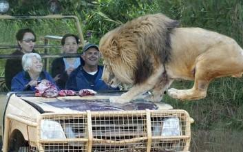 Πόσο άνετος μπορεί να είσαι με ένα λιοντάρι στο καπό
