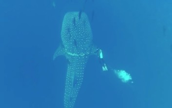 Εκπληκτικό βίντεο με φαλαινοκαρχαρία να «συνεργάζεται» με δύτη για τη διάσωσή του
