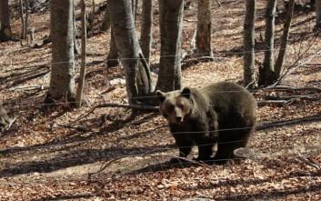 Το «σκουλήκι της καρδιάς» που προσβάλλει σκύλους εντοπίστηκε σε αρκούδα
