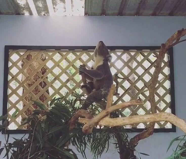 coala2