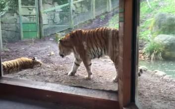 Μην ξυπνάς απότομα μια τίγρη