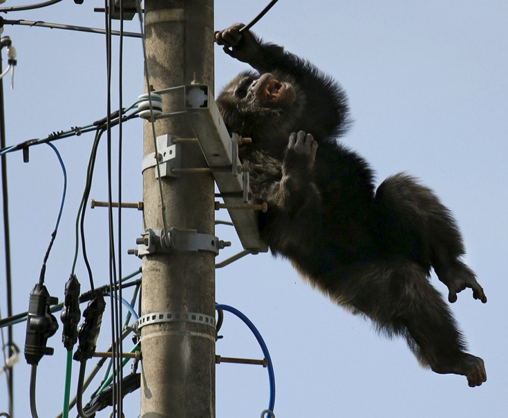 chimpanzee2