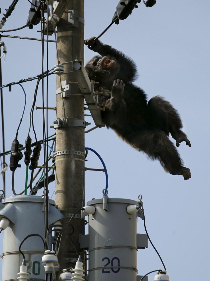 chimpanzee3