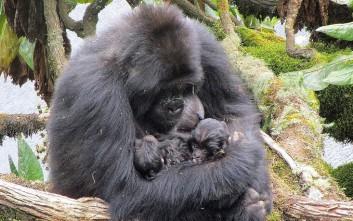«Αυτοκόλλητοι» με τη μαμά τους οι μικροί γορίλες
