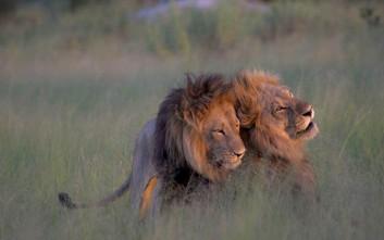Όταν αρσενικά λιοντάρια ερωτοτροπούν