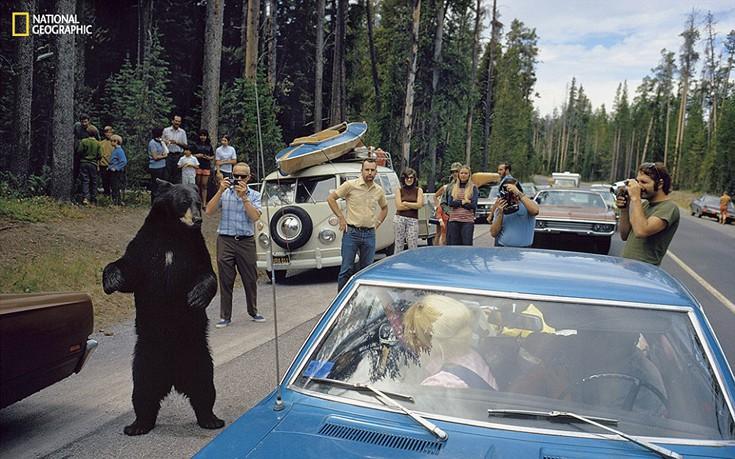 Το τι σημαίνει άγρια ζωή για τους ανθρώπους άλλαξε από τότε που ιδρύθηκε το Yellowstone. Η Υπηρεσία των Πάρκων δεν προσπαθεί να δαμάσει τα ζώα για να δημιουργήσει θέαμα αλλά όταν τραβήχτηκε αυτή η φωτογραφία το 1972 οι επισκέπτες δεν απομακρύνονταν όταν έβλεπαν μια τέτοια αρκούδα