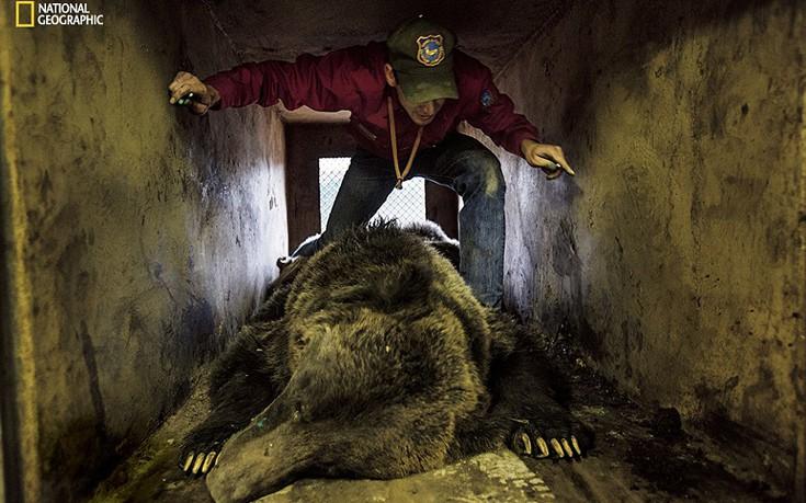 Yπεύθυνος για την κατάσταση της άγριας ζωής ελέγχει το πρόβλημα που έχει ένα ζώο και το απομακρύνει από τους ανθρώπους