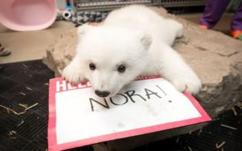 Πρώτη βουτιά για τη Νόρα, την πολική αρκούδα του Columbus