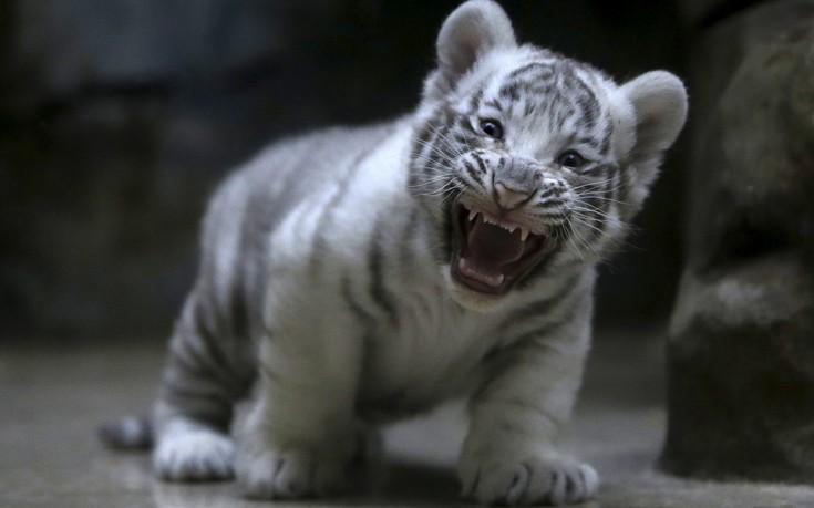 tigers4