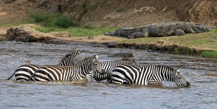 zebrakorkrasd10