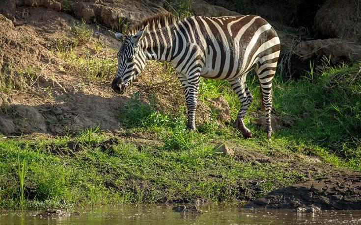 zebrakorkrasd8
