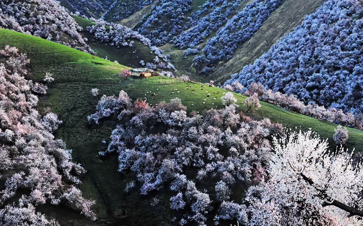apricot-valley-2