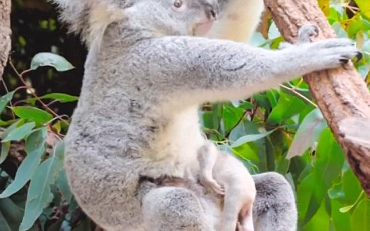 Νεογέννητο κοάλα κοάλα
