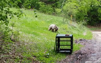 Δύσκολη αποδείχθηκε η άγρια ζωή για έναν μικρό αρκούδο