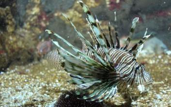 Νέος κίνδυνος για τη Μεσόγειο το θανατηφόρο λεοντόψαρο