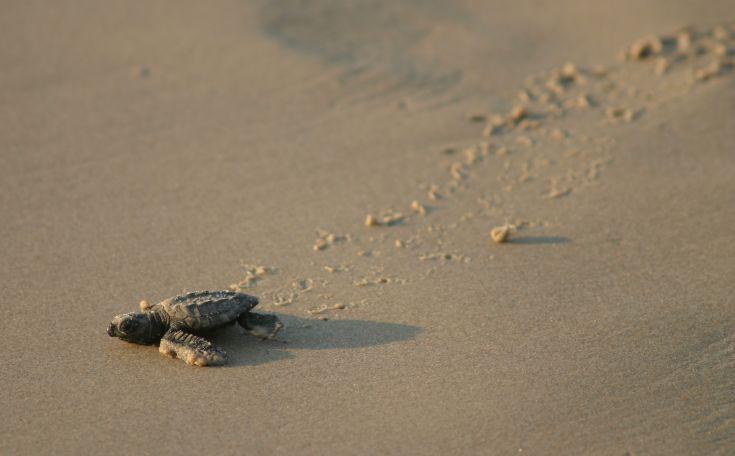 Τα χελωνάκια παγιδεύονται από τα τεχνητά φώτα