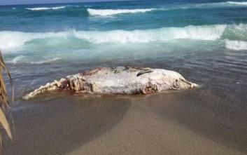 Τριάντα κιλά πλαστικών στο στομάχι της φάλαινας που ξεβράστηκε νεκρή στη Σαντορίνη