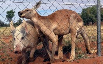 Καγκουρό καταγράφηκε να κάνει σεξ με γουρούνι