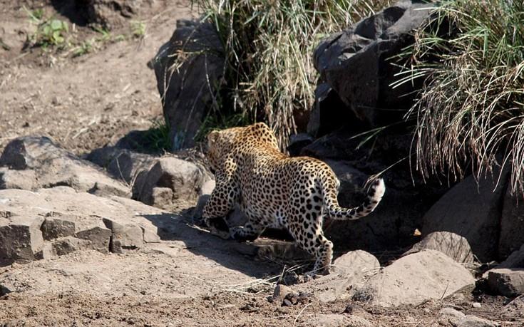 leopardalh7