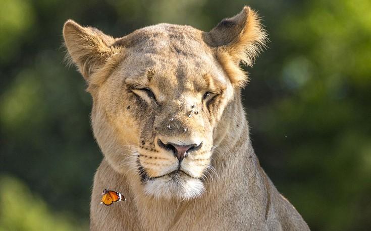 lion9