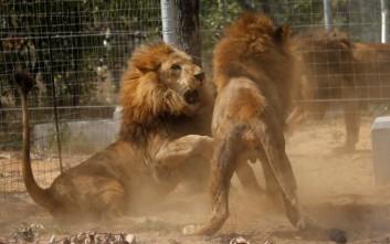 Πέθαναν λιοντάρια που είχαν διασωθεί από τσίρκο στην Κολομβία