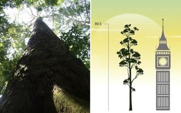 Το ψηλότερο τροπικό δέντρο φτάνει σχεδόν τα 90 μέτρα