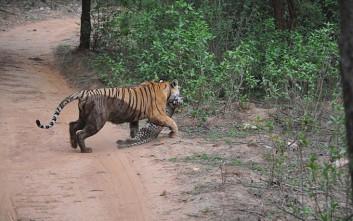 Άγρια μάχη μέχρι θανάτου μεταξύ τίγρης και λεοπάρδαλης