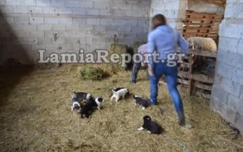 Δηλητηρίασαν ζώα κτηνοτρόφου στη Λαμία