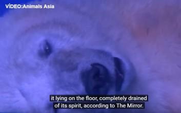 Η πιο θλιμμένη πολική αρκούδα του κόσμου