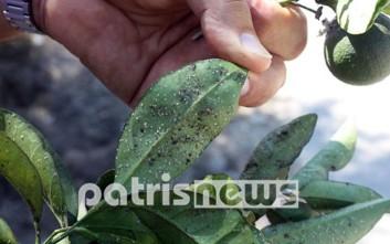 Έντομο καταστρέφει τις πορτοκαλιές στην Ηλεία