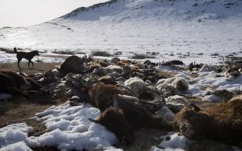 Το βαρύ τίμημα του χειμώνα στη Μογγολία