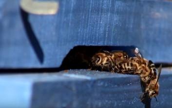Μέλισσες-φρουροί σε άμυνα